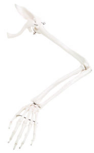 Anatomical Model Loose Bones Arm Skeleton With Scapula And Clavicle wire