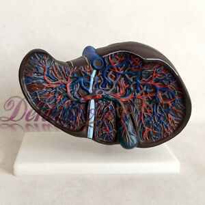 1pcs Human Natural Life Size Liver Simulation Model Medical Anatomy Pvc