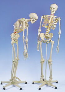 New 3b Scientific Anatomical Flexible Skeleton Fred A15