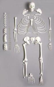 Wellden Medical Full Disarticulated Skeleton Human Anatomical Life size 170cm