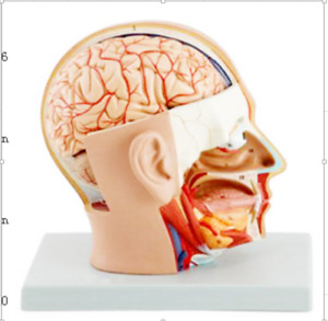 Head Dissection Model Study Teaching Model