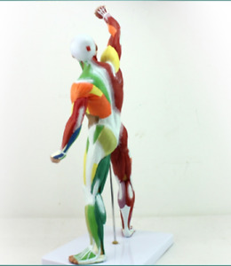 Human Muscle And Skeleton Anatomy Model Learning Education 55 Cm Tall