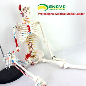 85cm Human Anatomical Anatomy Skeleton Medical Model Muscle stand Fexible