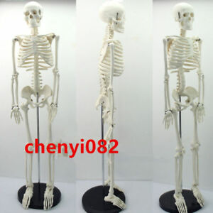 Human 85cm Anatomical Anatomy Skeleton Medical Teaching Model stand Fexible