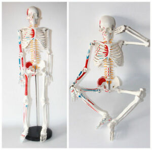 Human 85cm Anatomical Anatomy Skeleton Medical Model Muscle stand Fexible