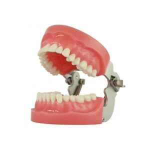 Dental Study Model Gdc Typhodont Jaw Set With Articulater Nissin Type