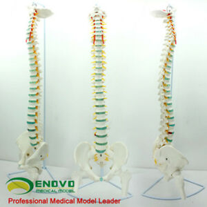 1 1 Bendable Human Spinal Pelvis And Femoral Model