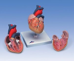 New 3b Anatomical Classic Heart G08