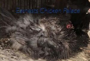 6 Frizzle Cochin Show Quality Guaranteed Fresh And Fertile Hatching Eggs