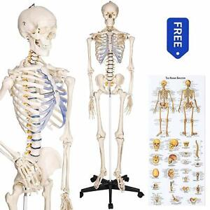 Ronten Human Skeleton Model Anatomical Skeleton Lifesize 70 8 In Including