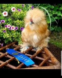 10 Show Quality Silkie Hatching Eggs Crested And Bearded Npip