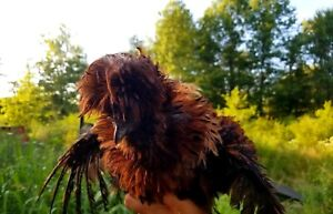 10 Red And More Satin sizzle frizzle silkie Showgirl Hatching Eggs Npip Yard Art