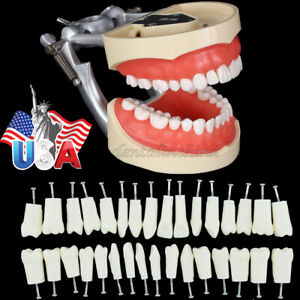 200 Type Dental Typodont Model Kilgore Nissin Free 32 Pieces Removable Teeth