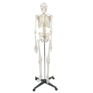 High Quality Human Anatomical Anatomy Skeleton Model With Spinal Nerves Stand