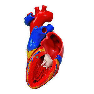 3b Scientific Anatomical Model Heart With Bypass 2 part