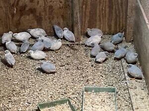 10 Button Quail Hatching Eggs Of Only Silver Silver Red Breast Kept Separate