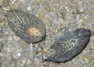 10 Golden Pearl Button Quail Hatching Eggs Only Kept In Separate Groups