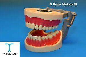 Typodont Dental Model 200 Works With Kilgore Brand Teeth 5 Free Molars
