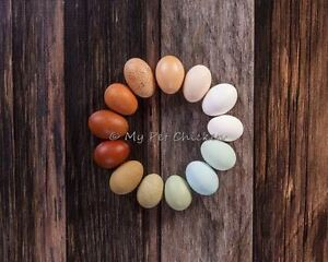 Fertile Hatching Eggs 1 Dozen Intense Egg Color