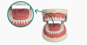 Dental Typodont Model 200 Works With Kilgore Brand Teeth Tongue Model