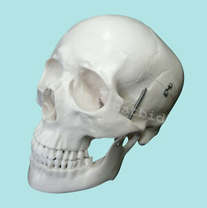 1x Lab Anatomical Deluxe Human Skull Model Medical Skeleton Anatomy Replica Nice
