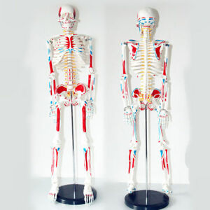 Human Anatomical Anatomy Skeleton Stand Fexible medical Model Muscle 85cm