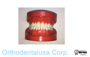 Typodont Ideal Adult Anatomical Dental Study Model Orthodentalusa Corp Usa