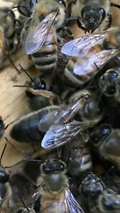One Mated Queen Honey Bee Good Genetics buckfast Queen Good Winter Stock Tenn