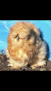 6 Show Quality Silkie Hatching Eggs Crested Bearded And Tufted