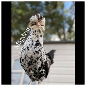 6 Rare Exotic Mottled Houdan Chicken Hatching Eggs