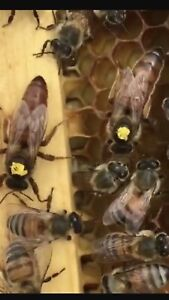 Queen Honey Bee Mated Italian Queen