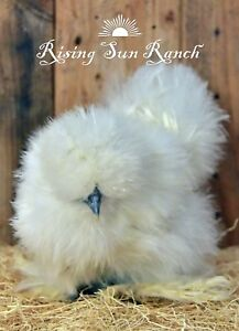 6 Assorted Color Bearded Silkie satin And Frizzled Satin Hatching Eggs Npip