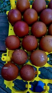 12 Npip Copper Black Copper And Marans Hatching Eggs Show Quality