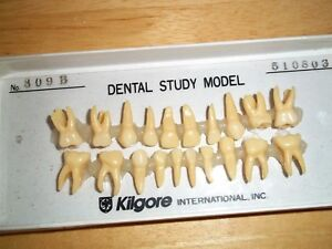 Kilgore Nissin Dental Study Model B4 309b Anatomical Model 20 Tooth Set