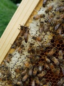 Mated laying buckfast Queen Bee 2019march april On Shipping great Honey Makers