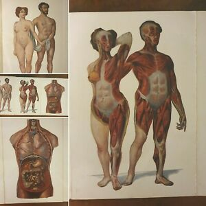 Vintage French Anatomy Fold Out Model C1920 Rare