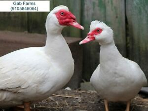 6 12 18 Extra Hatching Eggs Of Muscovy Duck most Expensive Best Taste Meat