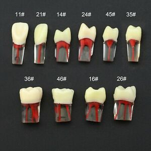 Kilgore Nissin Type Dental Rct Endo Practise Typodont Teeth Naturally Rooted