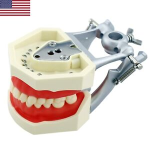 Kilgore Nissin Style Dental Typodont Model With 28pcs Removable Teeth M8011