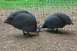 6 Guinea Fowl Hatching Eggs French Pearl Variety