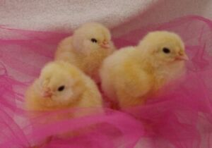 6 Rare Salmon Favorelle Hatching Eggs Npip Certified