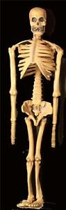 Realistic 5 Foot Rubber Skeleton Anatomy Skeletons Bones Theater Haunted House