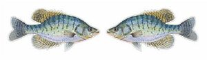 2 Crappies Decals Stickers Fishing Minnow Paper Mouth Jigs Bobber Panfish Grob