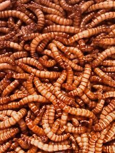 Jumbo Mealworms For Feeding Reptiles Chickens Fish 1000 Ct Bestseller