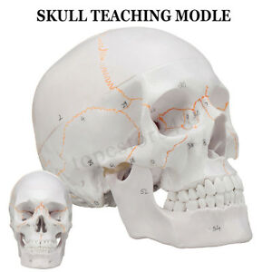Life Size Human Anatomical Anatomy Head Skeleton Skull Teaching Model Precise