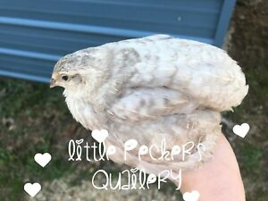 Coturnix Quail Hatching Eggs Mixed 30