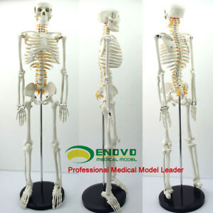 85cm Medical Science Middle Skeleton Anatomy Model With Spinal Nerve Best