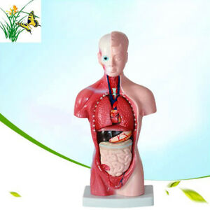 Anatomical Human Torso Model Skeleton Model Medical Teaching Anatomy Aid 30cm Dl
