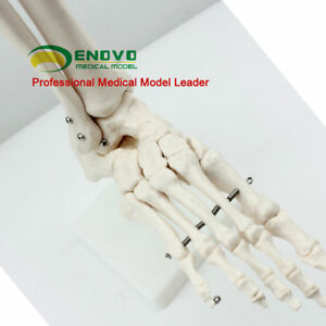 1 1 Human Medical Anatomy Human Life size Foot Joint Skeleton Anatomical Models