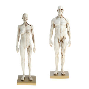 11 White Female Male Anatomy Model Muscle Skeleton Anatomical Study Kit